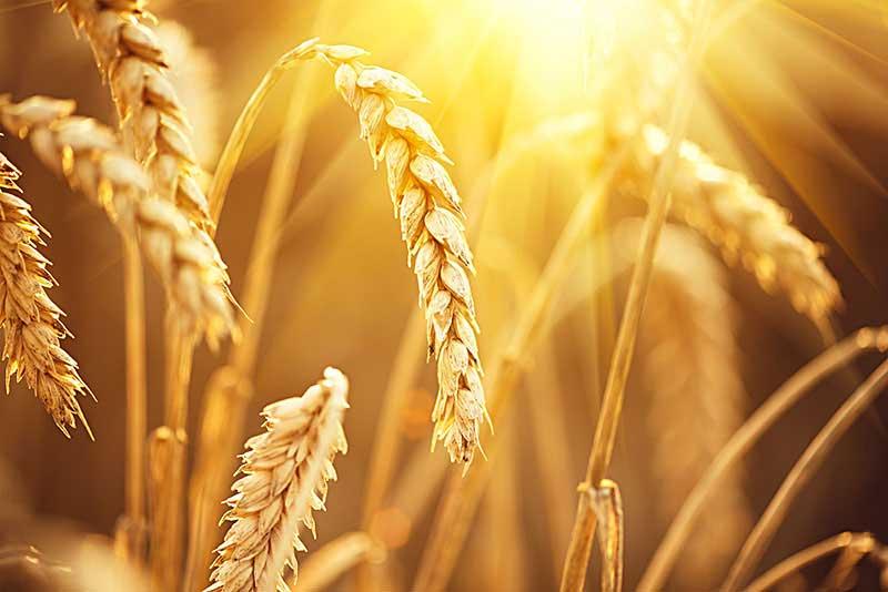 Organisan Wheat Field