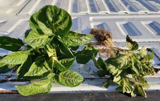 Organisan Eastern Idaho Potatoes Comparison Of Plants